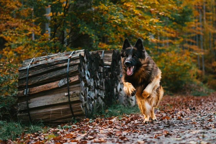 German Shepherd : Commonly known Traits