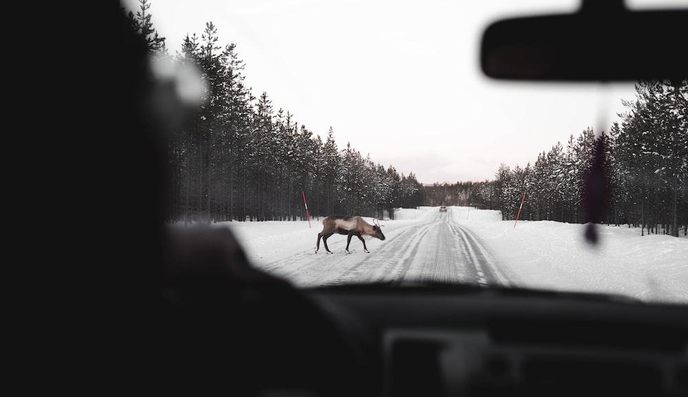 brown moose crossing on road