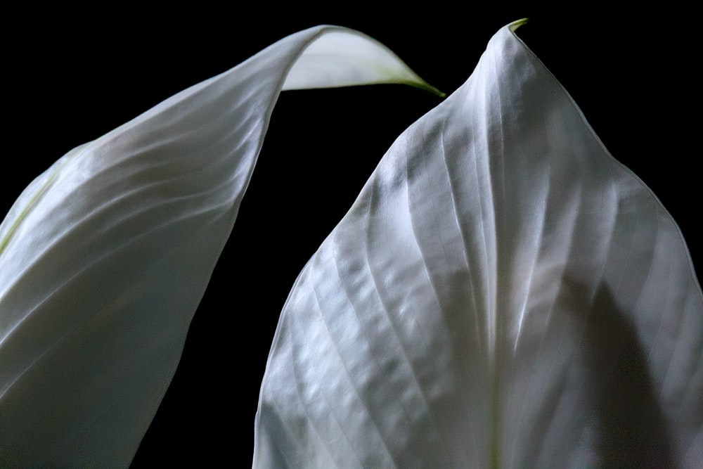 grayscale photography of lilies