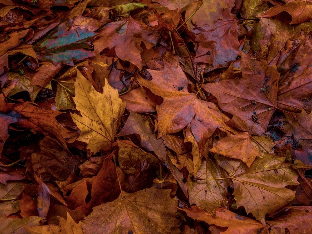 macro photography of orange maple leaves