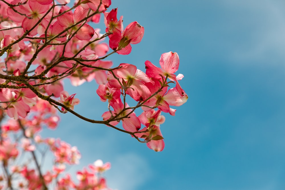 red Cherry Blossoms