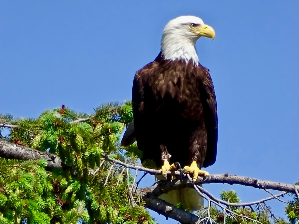 American bald eagle on tree branch during daytime
