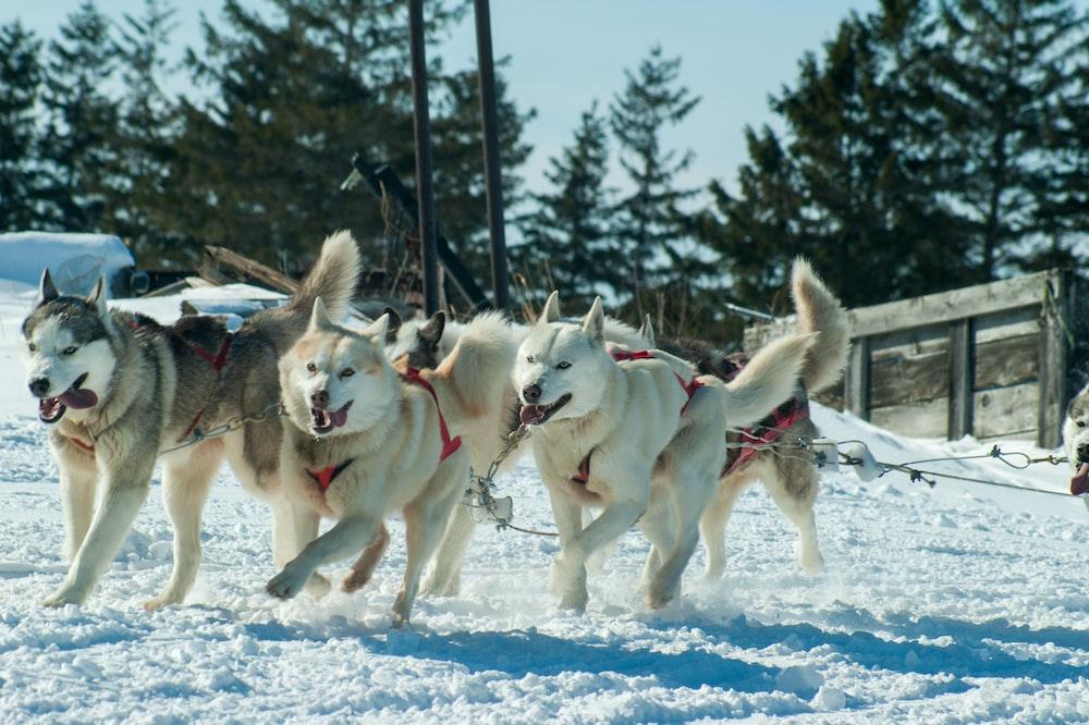 four assorted-color Siberian Huskies