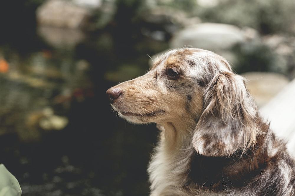 brown and white dachshund