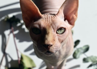 pink hairless cat