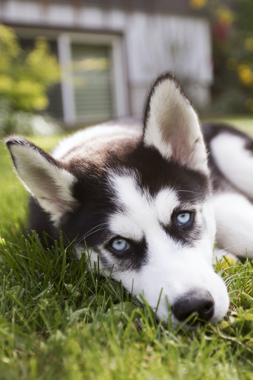 white and black Siberian husky puppy