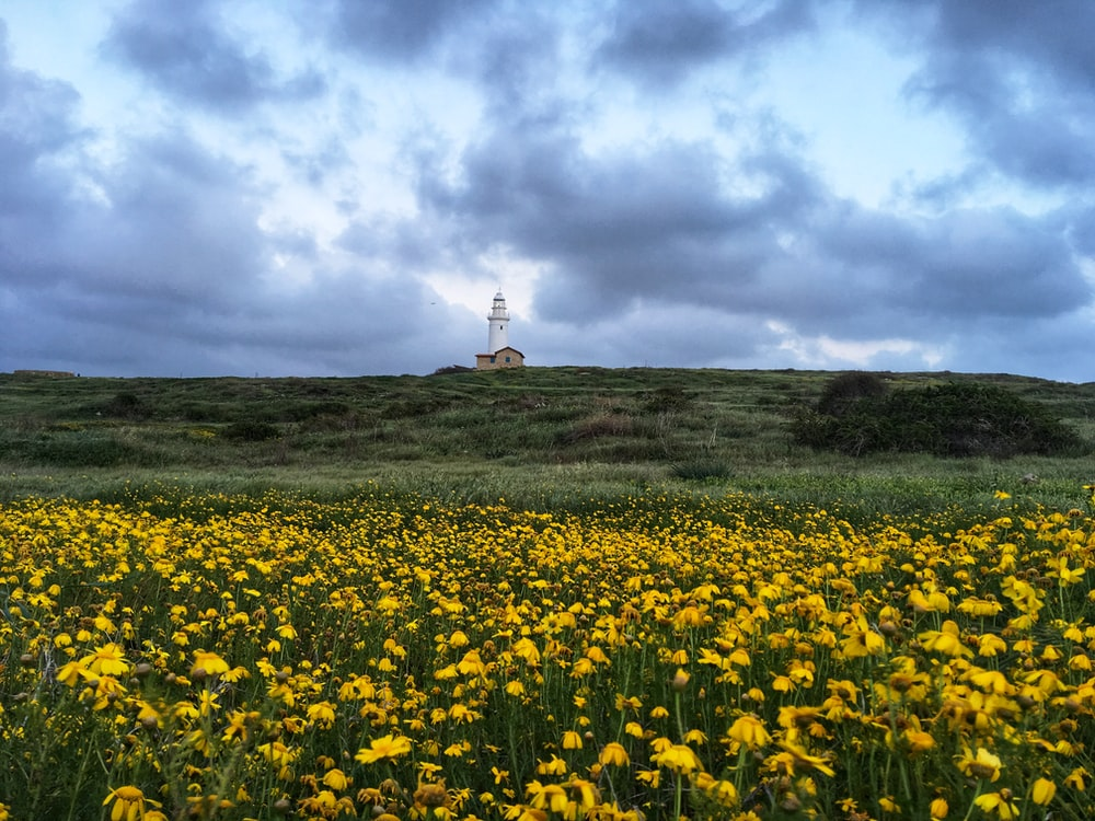 view photography of yellow-petaled flower field