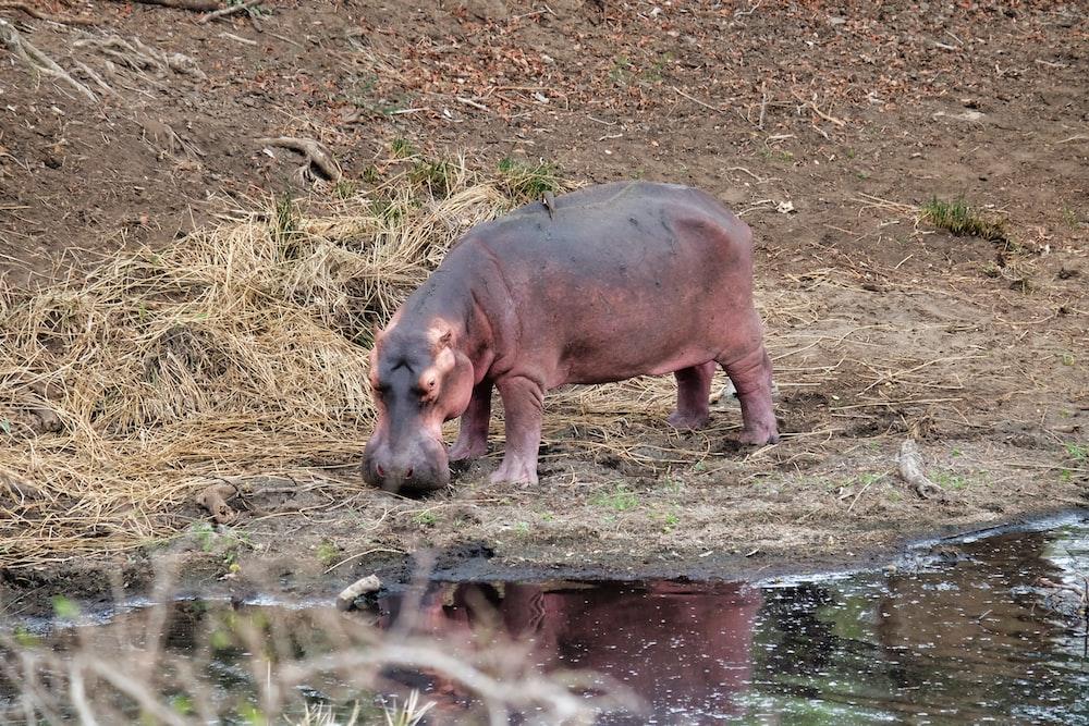 gray and brown hipopotamus