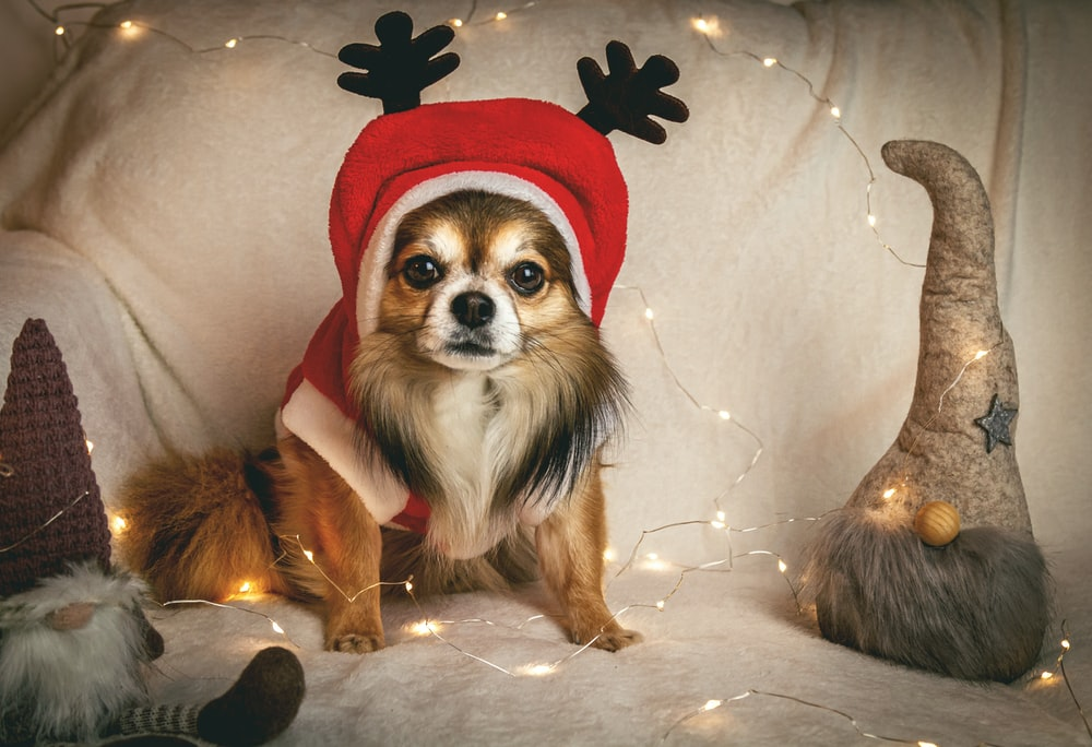 brown shih tzu wearing red suit