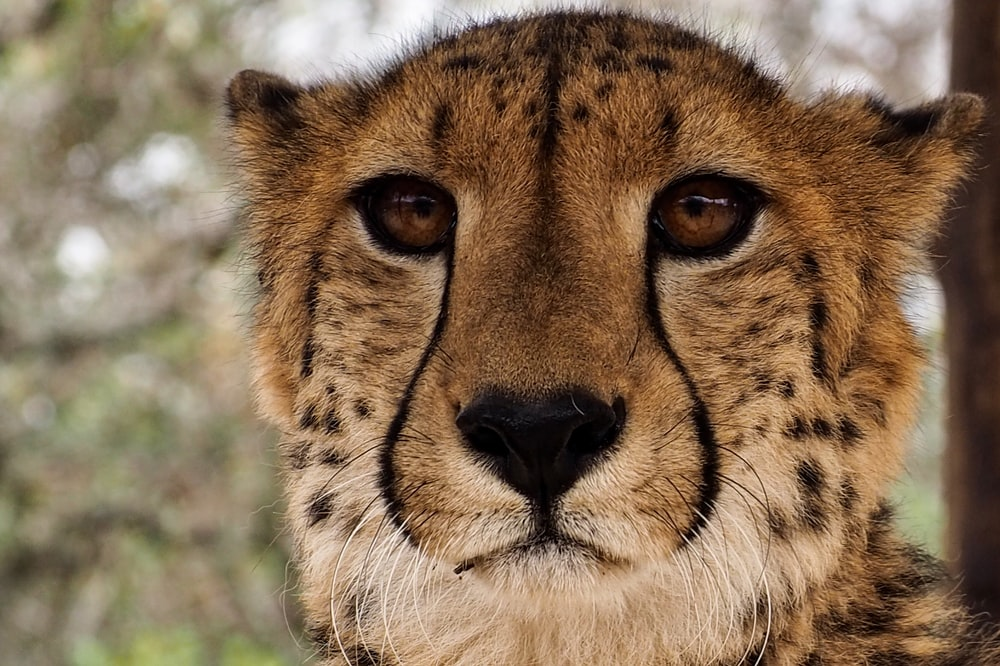 brown and white cheetah