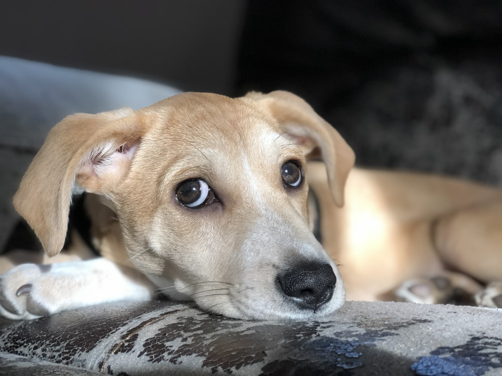 tan puppy on sofa
