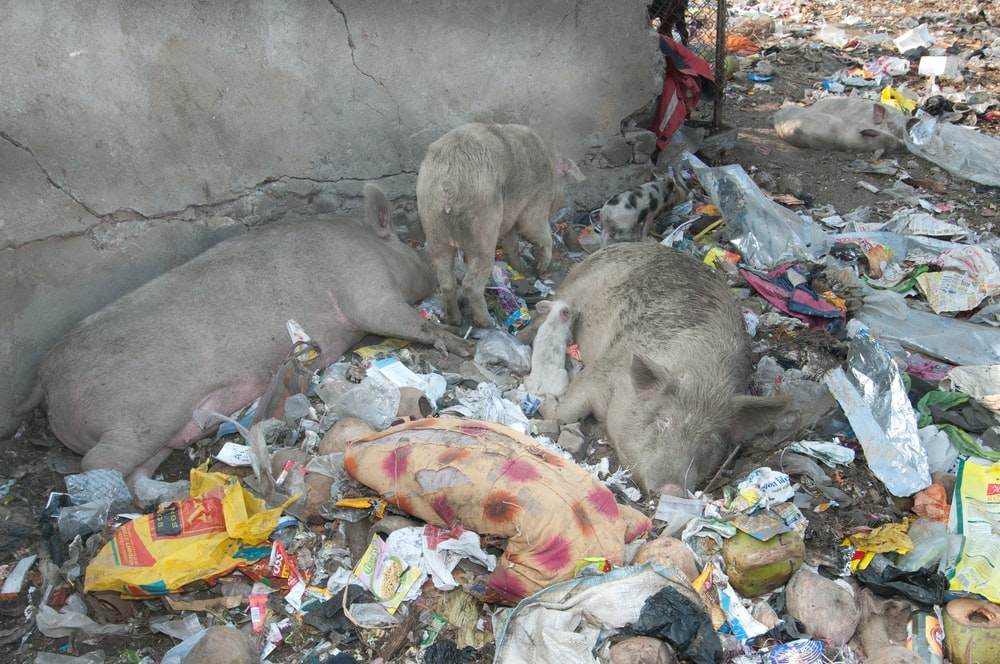 three pigs lying on ground with garbage