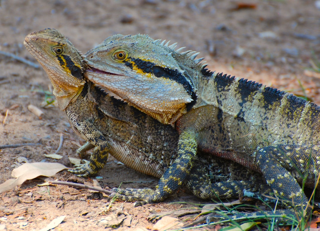 Here is a pair of Australian Water Dragons, one male and one female, and yes they are doing what you think they're doing.  We were walking from one animal enclosure to another when suddenly the male ran in front of us and proceeded to make baby water dragons with its mate.   Full disclosure, I photographed it out of fascination, not in bad taste!