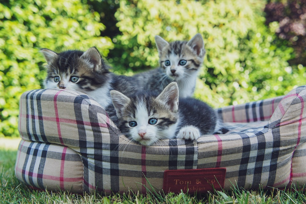 several tabby kittens on a pet bed