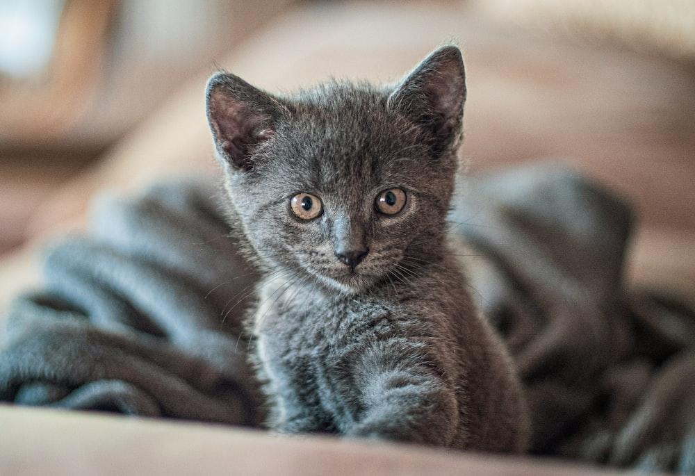 short-fur gray kitten