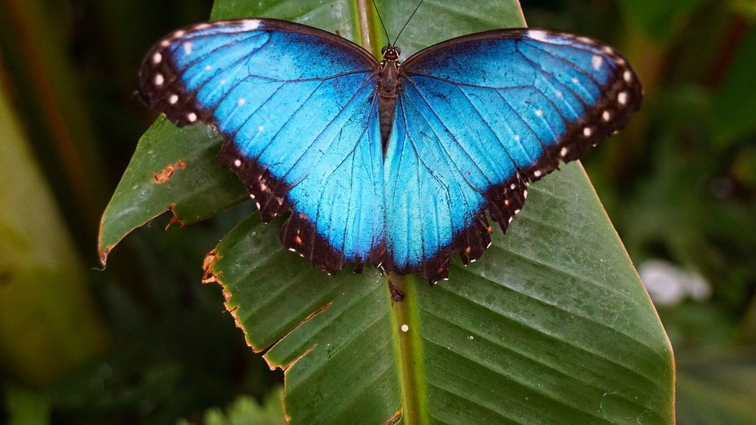Rhetenor Blue Morpho - Dorsal side. Very rare Papillion. Thousands are killed for domestic displays, sold to tourists or in gift shops.