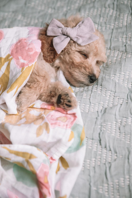short-coat beige dog lying on grey textile