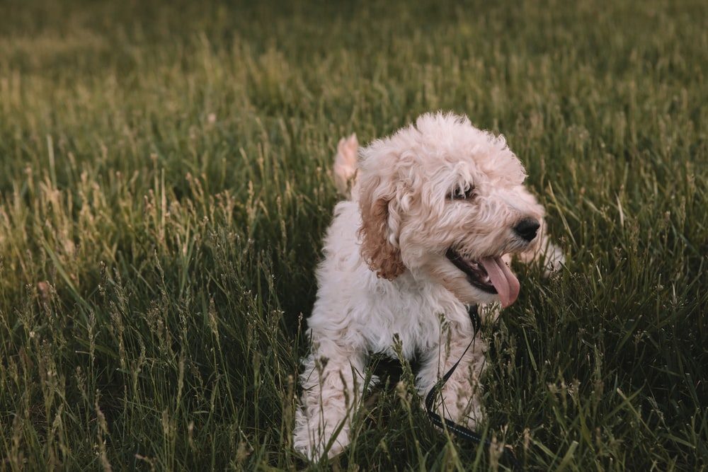 medium-coat beige dog on grass field