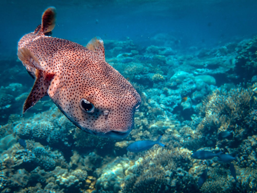 underwater photography of gray and red fish