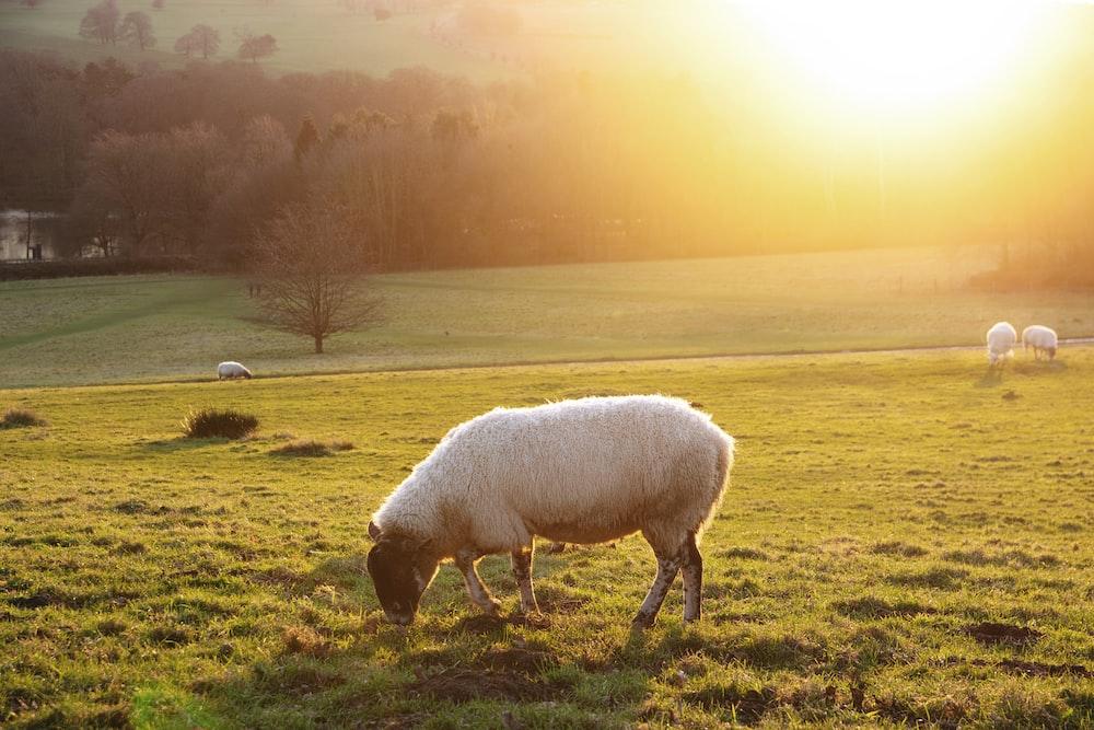 white sheep eating green grass
