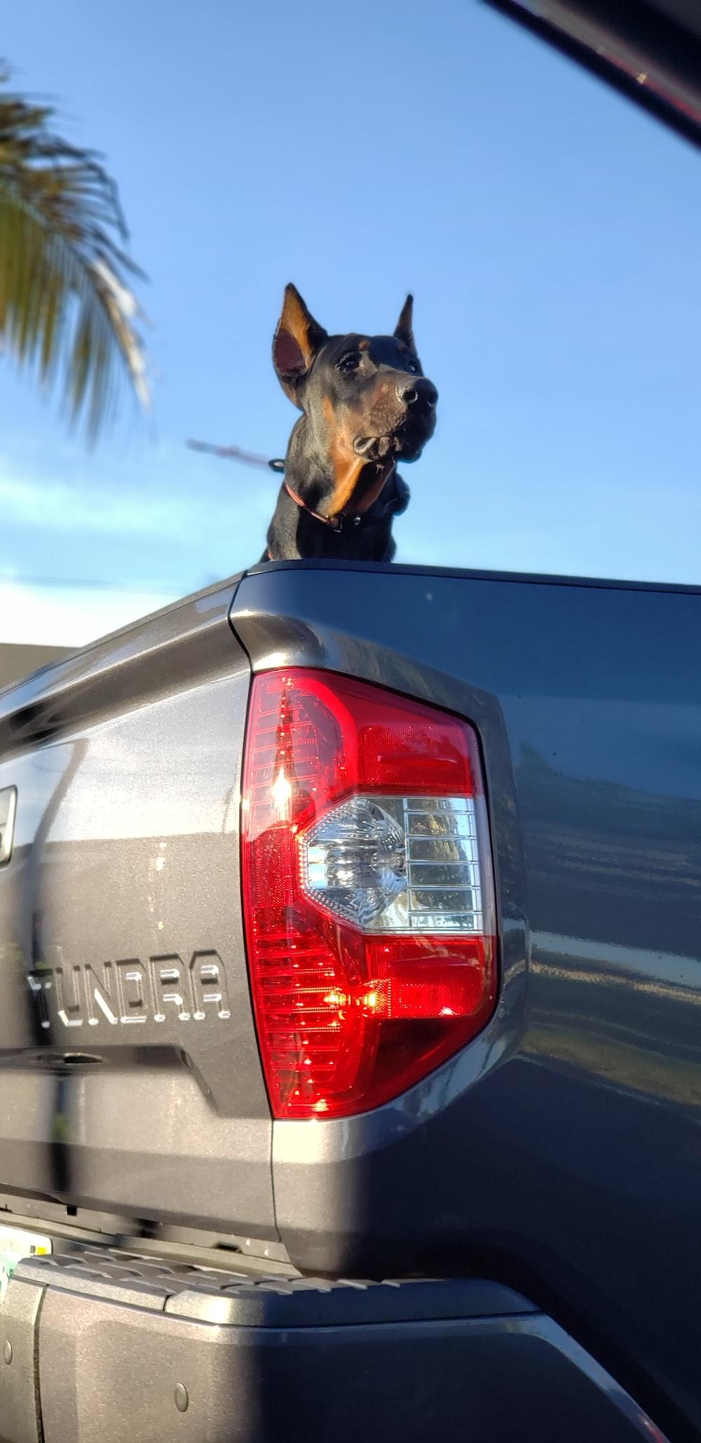 adult Doberman pinscher on pickup truck