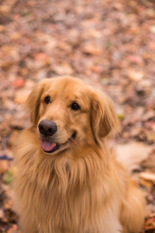 focus photography of an adult Labrador Retriever