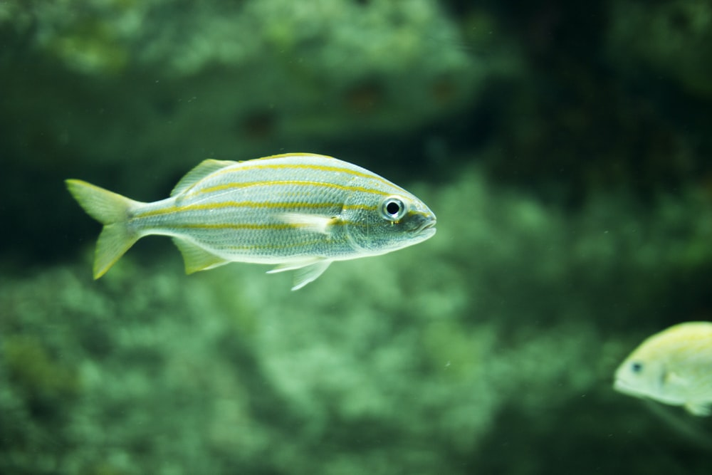 underwater photography of a green fish