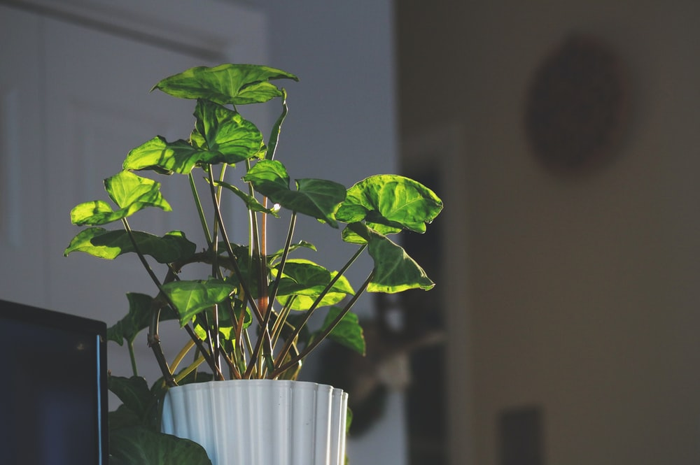 green leaf plants in pot