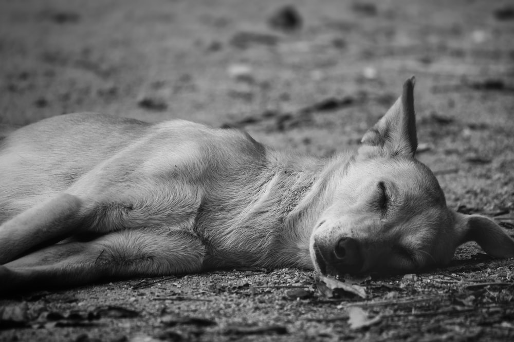 grayscale photography of short-coated dog lying on ground