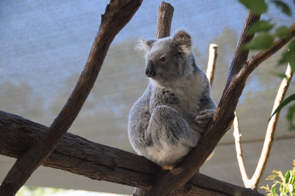 grey and white koala bear photograph