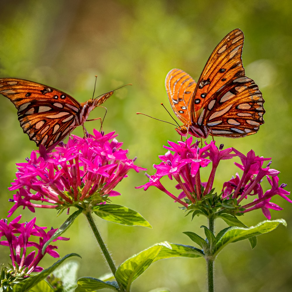 selective focus photography of two brown butterflies on pink flowers