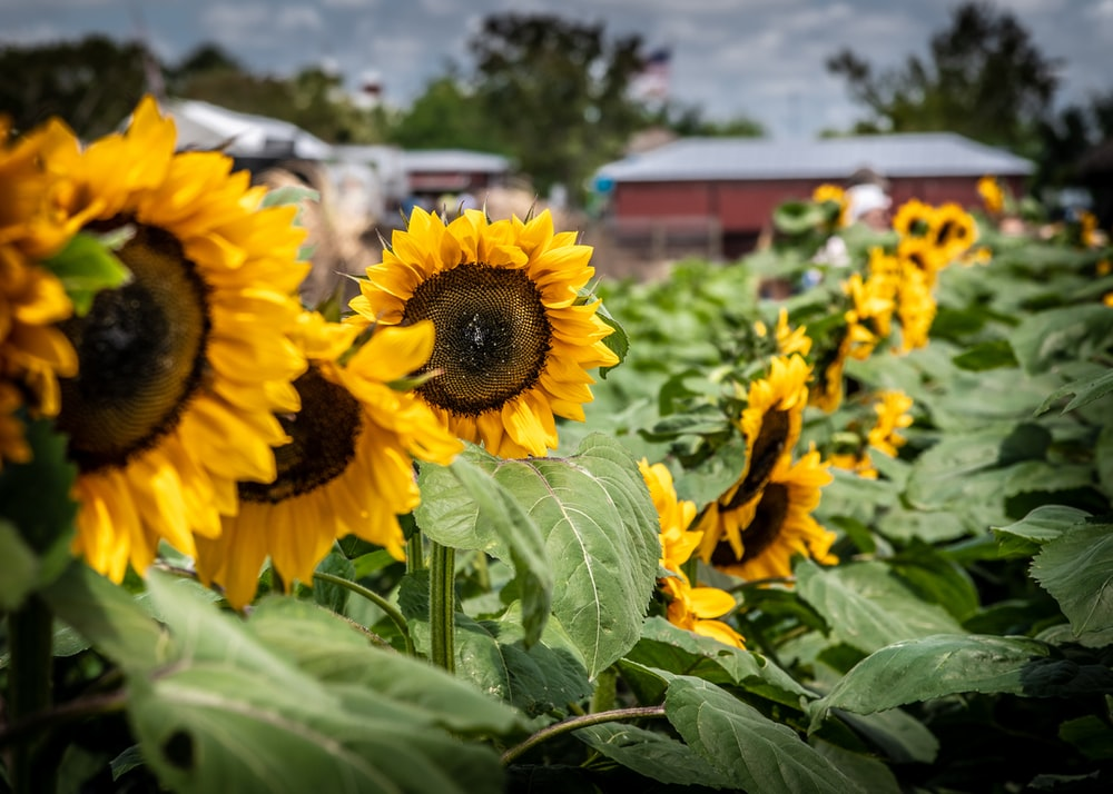 sustainable travel miami - selective focus photography of yellow sunflowers during daytime