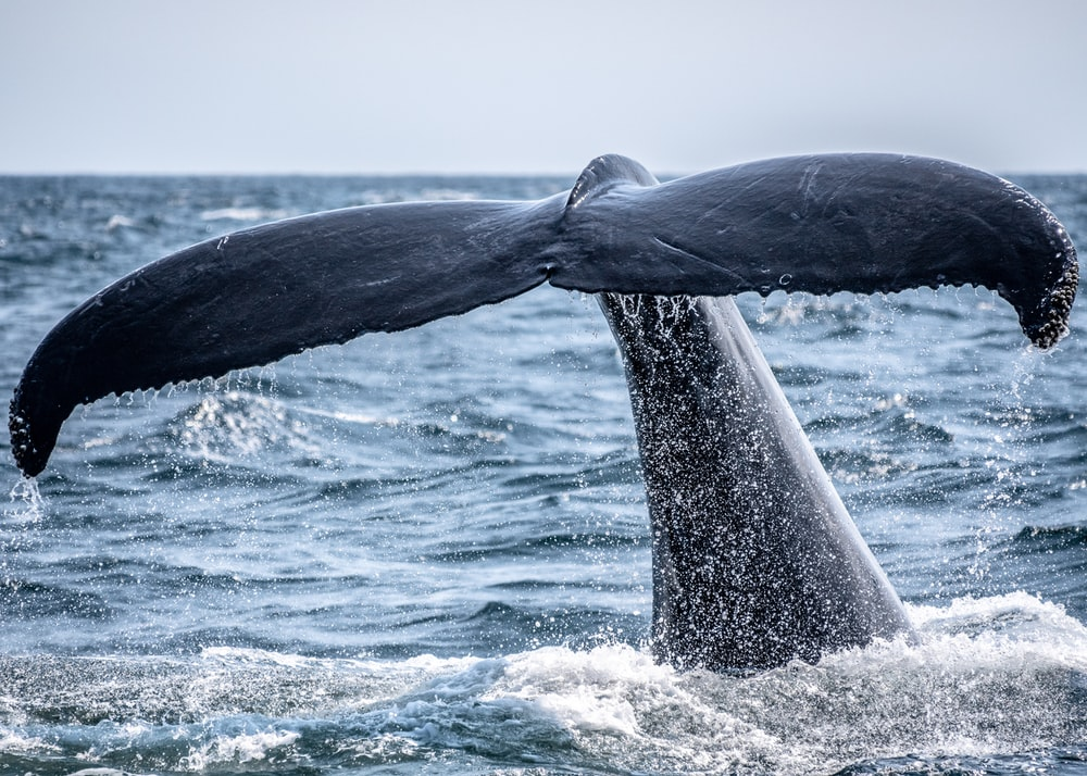 whale's tail sticking out of the ocean during day