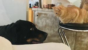 shallow focus photo of short-coated black dog in front of orange cat