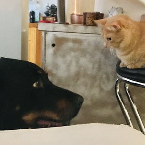 shallow focus photo of short-coated black dog in front of orange cat