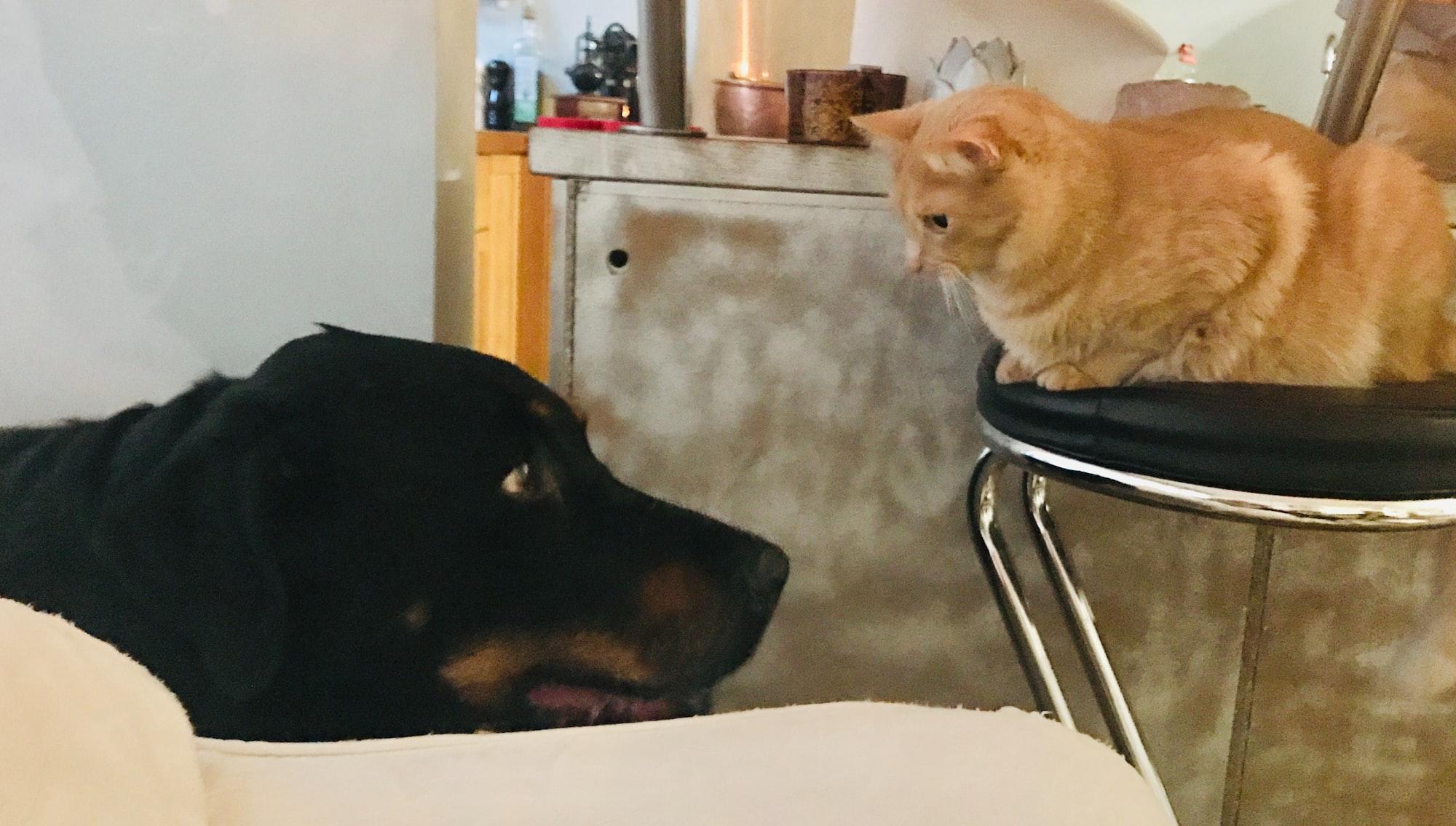 Come presentare un gatto al cane
