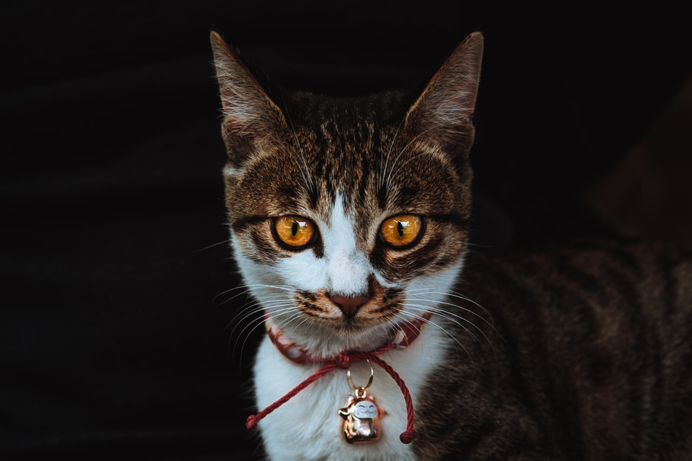 brown, white, and black cat wearing pendant collar