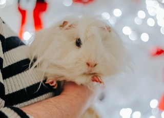 person holding white hamster