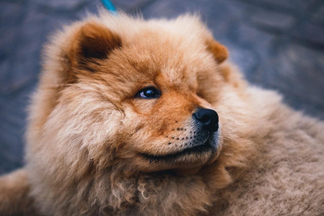 Chowchow puppy