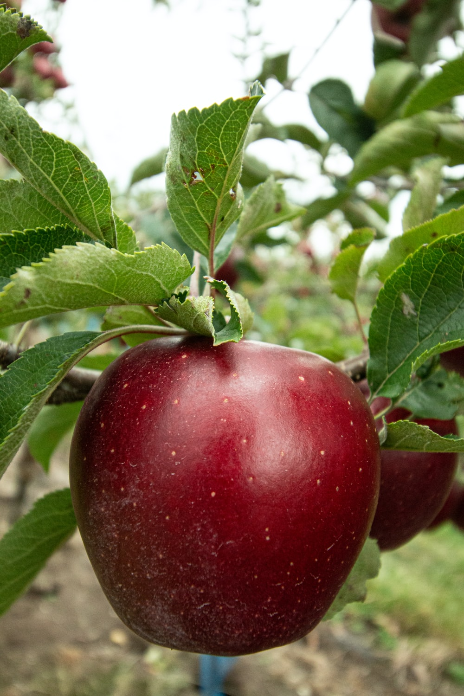 honeycrisp apple fruits