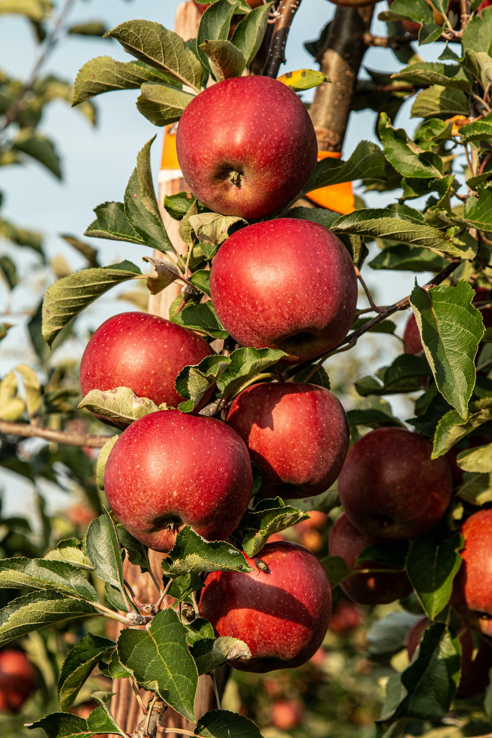 red apple fruit photograph