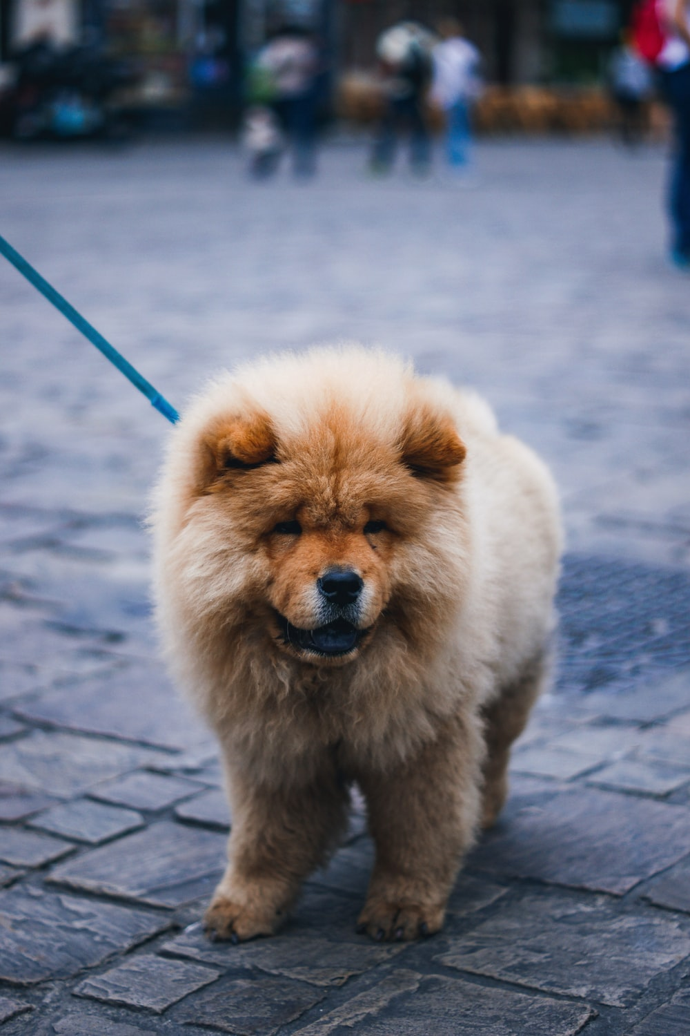 closeup photo of chowchow standing on pavement
