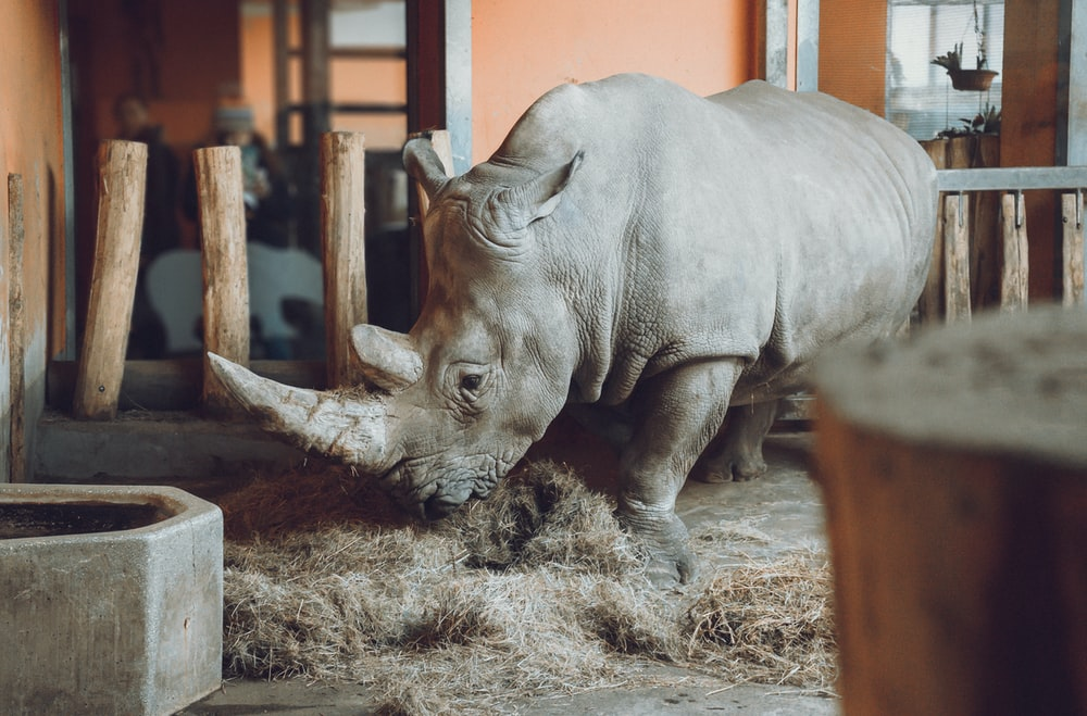 gray rhinoceros standing inside cage