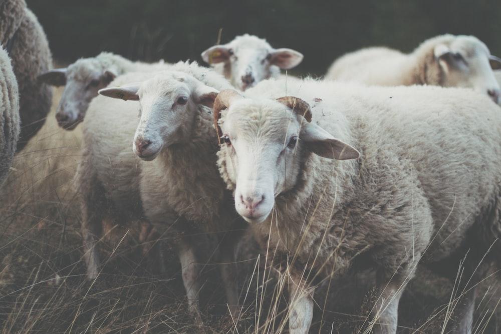 herd of sheep on grass