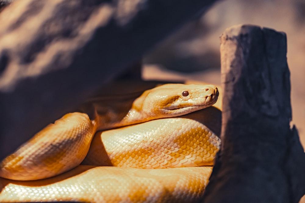500 King Cobra Pictures Download Free Images On Unsplash