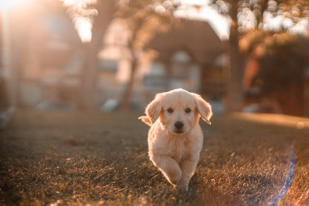 yellow Labrador puppy running on field