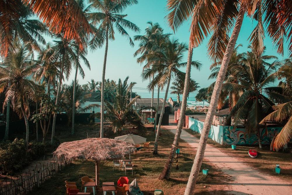 green coconut trees near road