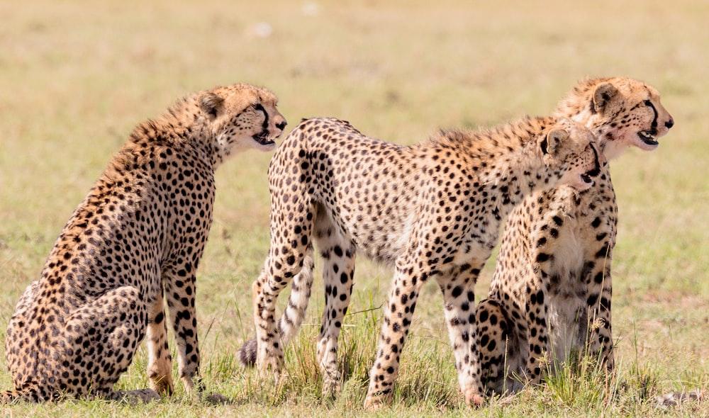 three brown-white-and-black cheetahs