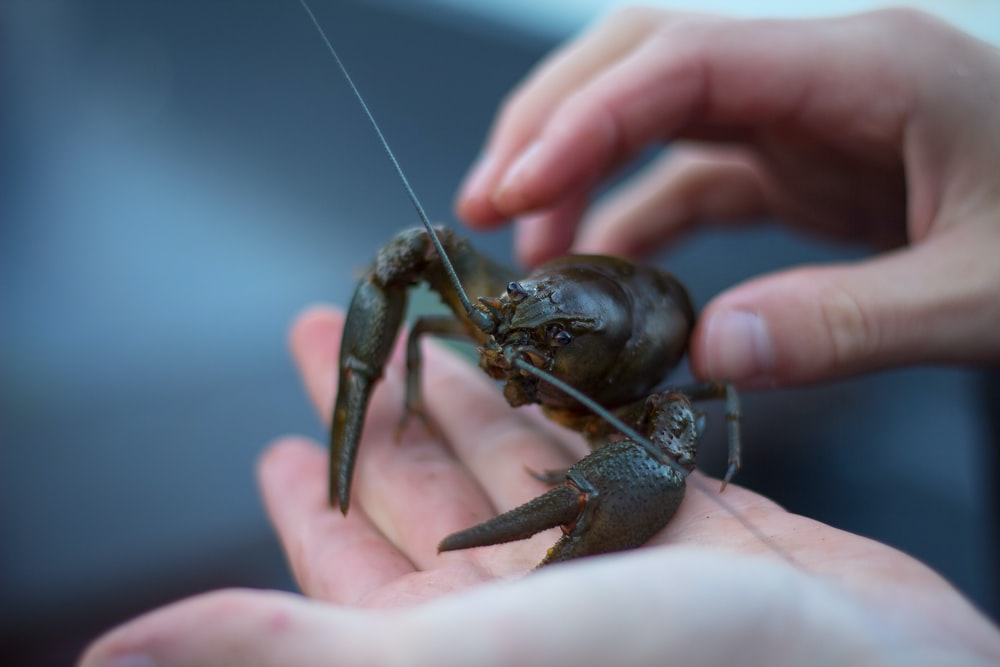 person holding gray and black lobster