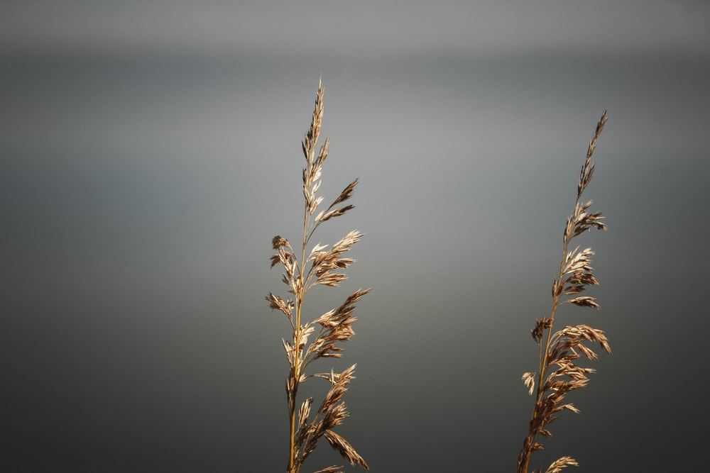 close-up photo of brown wheat